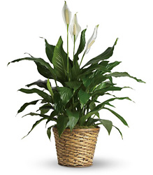 Simply Elegant Spathiphyllum Plant from McIntire Florist in Fulton, Missouri