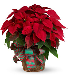 Large Red Poinsettia from McIntire Florist in Fulton, Missouri