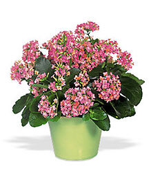 Pink Kalanchoe from McIntire Florist in Fulton, Missouri