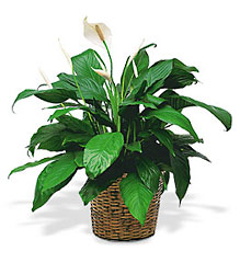 Medium Spathiphyllum Plant from McIntire Florist in Fulton, Missouri
